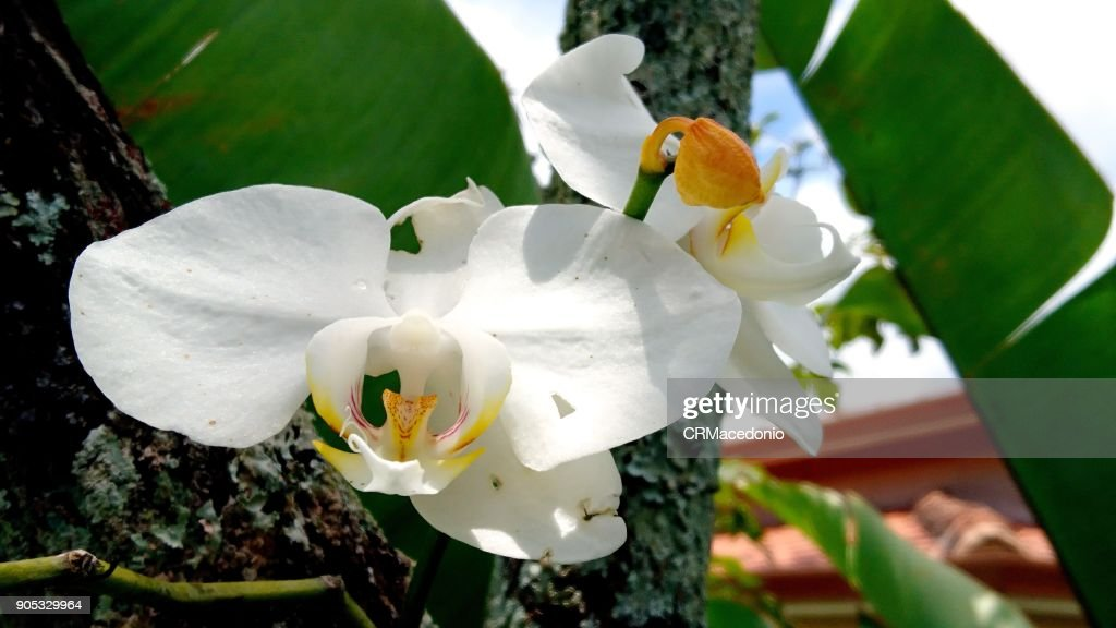 A beautiful white orchid of the phalaenopsis. : Stock Photo