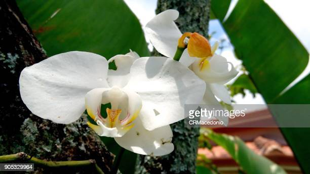 a beautiful white orchid of the phalaenopsis. - crmacedonio foto e immagini stock