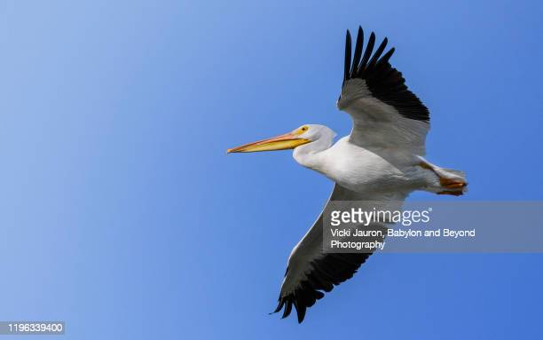 beautiful white pelican in flight against blue sky at fort myers beach, florida - pelican stock pictures, royalty-free photos & images