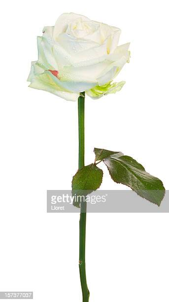 Beautiful White Rose (XXL)