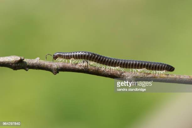 a beautiful white-legged snake millipede (tachypodoiulus niger) walking along a twig. - centipede stock pictures, royalty-free photos & images