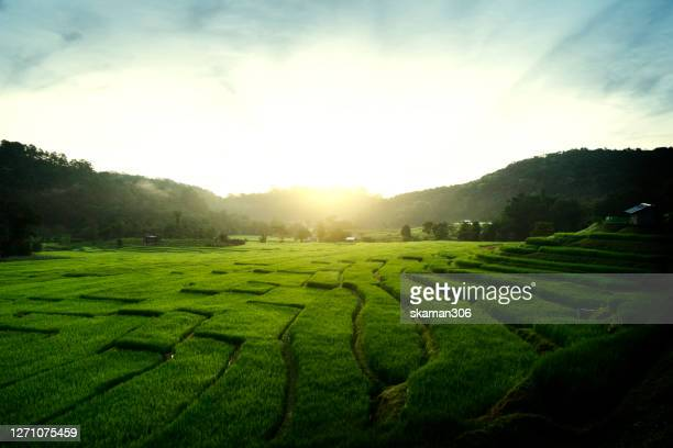 beautiful wide angle landscape of green rice paddy in morning - 生い茂る ストックフォトと画像