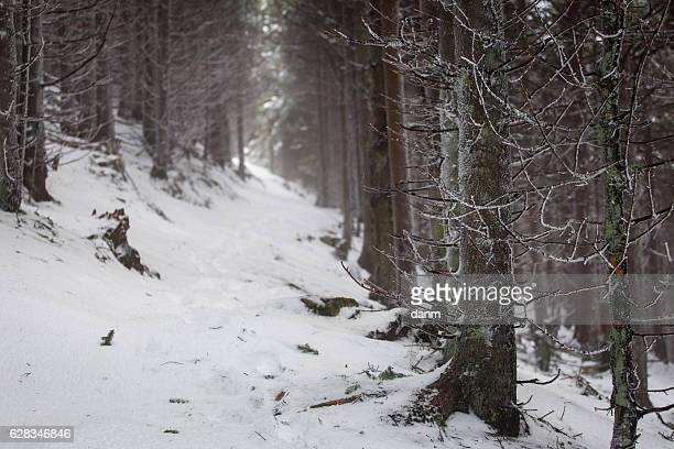 Beautiful winter alley with fir trees