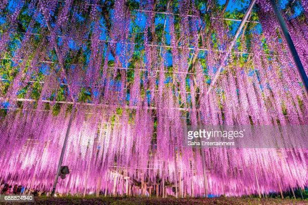 beautiful wisteria light up - 栃木県 ストックフォトと画像