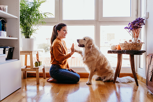 beautiful woman doing high five her adorable golden retriever dog at home. love for animals concept. lifestyle indoors 1204274923