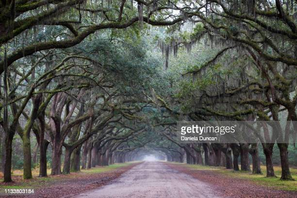 beautiful wormsloe historic site - live oak tree stock pictures, royalty-free photos & images