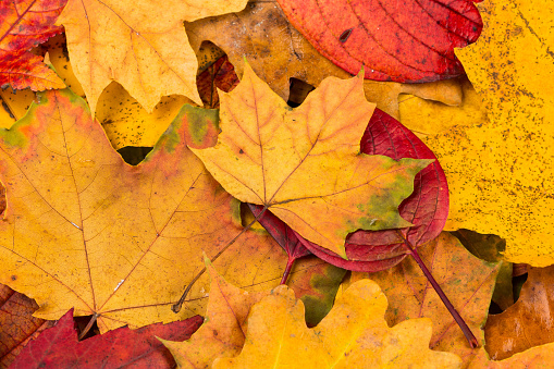 Beautiful yellow and red autumn leaves background texture - gettyimageskorea