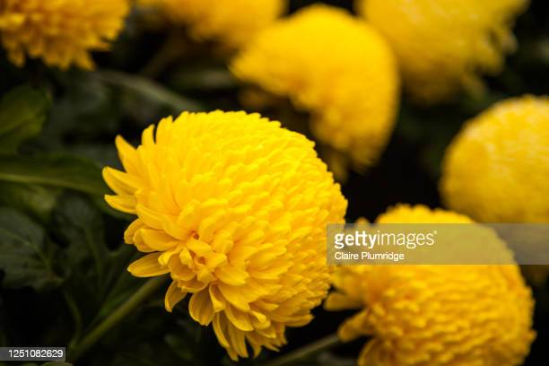 beautiful yellow chrysanthemums at a flower show - newbury england stock pictures, royalty-free photos & images
