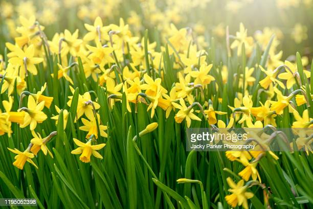 beautiful yellow daffodil flowers blooming in a spring garden also known as narcissus - daffodils stock pictures, royalty-free photos & images