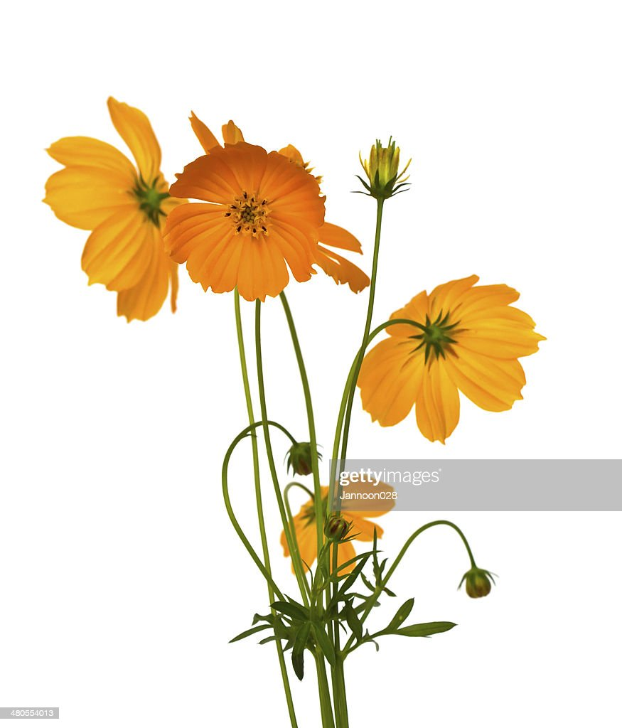 Beautiful yellow flower (Cosmos) isolated on white background. : Stock Photo