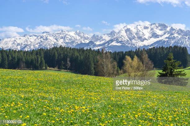 beautiful yellow flower meadow in a idyllic mountainous landscape - 五月 ストックフォトと画像