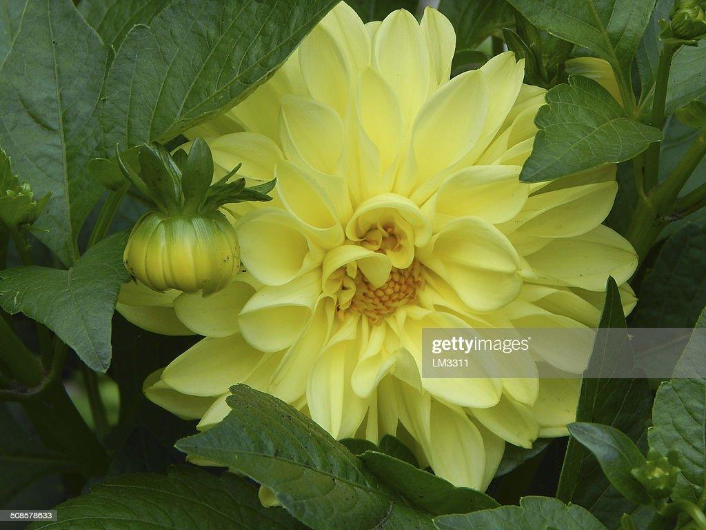 Schöne gelbe Blume : Stock-Foto