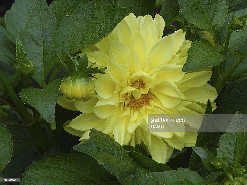 美しい黄色の花畑夏季にはガーデンます。 : ストックフォト