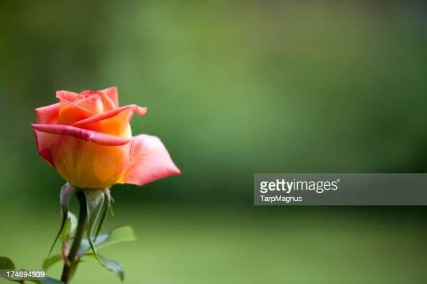 Beautiful yellow orange rose
