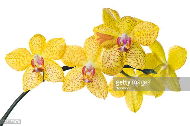 Beautiful yellow orchid on white.