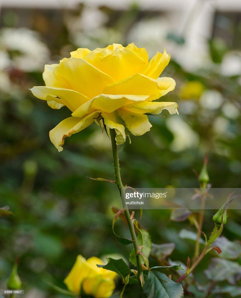 Bela Rosa amarela em um jardim : Foto de stock