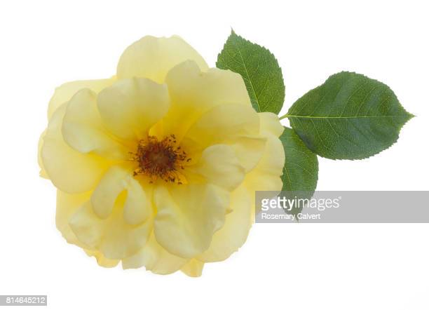 Beautiful yellow rose with leaf on white.