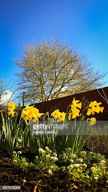 beautiful yellow spring flowers in a sustainable garden with blue sky in background - hamilton new zealand stock photos and pictures