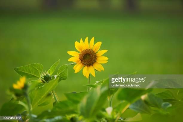 beautiful yellow sunflower garden public park