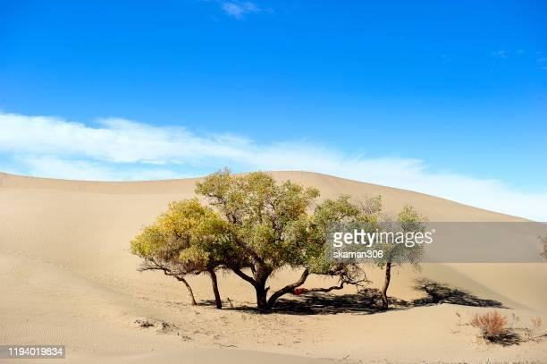 beautiful yellow tree (populus euphratica) in spring season at inner mongolia china - 甘粛張掖国家地質公園 ストックフォトと画像