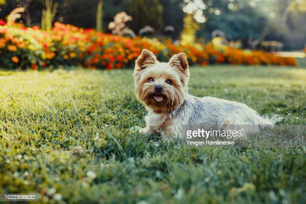 beautiful yorkshire terrier dog laying on the green grass - yorkshire terrier stock pictures, royalty-free photos & images