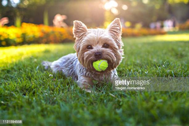 beautiful yorkshire terrier playing with a ball on a grass - yorkshire terrier stock pictures, royalty-free photos & images