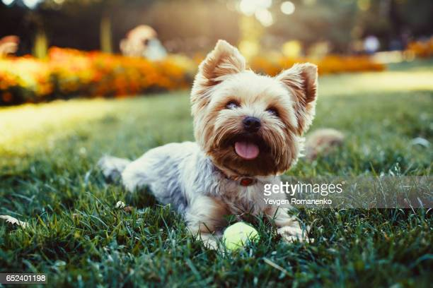 beautiful yorkshire terrier playing with a ball on a grass - puppies - fotografias e filmes do acervo