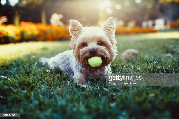 beautiful yorkshire terrier playing with a ball on a grass - pets stock pictures, royalty-free photos & images