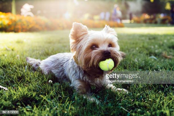 beautiful yorkshire terrier playing with a ball on a grass - hairy balls stock photos and pictures