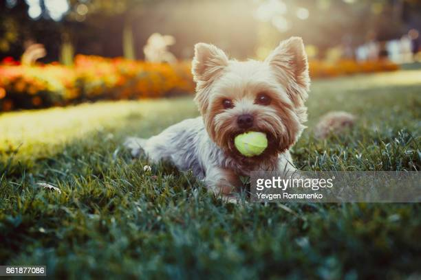 beautiful yorkshire terrier playing with a ball on a green grass - hairy balls stock photos and pictures