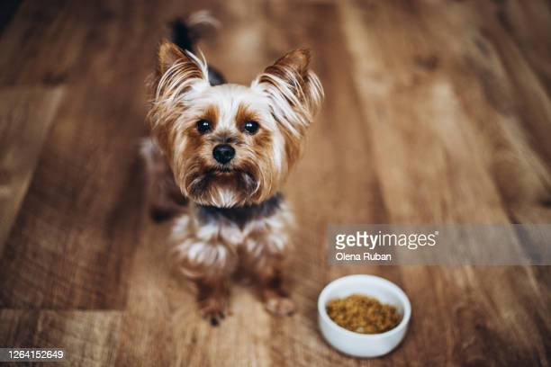 beautiful yorkshire terrier standing on the floor - yorkshire terrier stock pictures, royalty-free photos & images