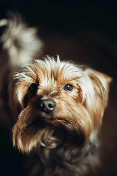 Beautiful yorkshire terrier with ears down looking at the camera