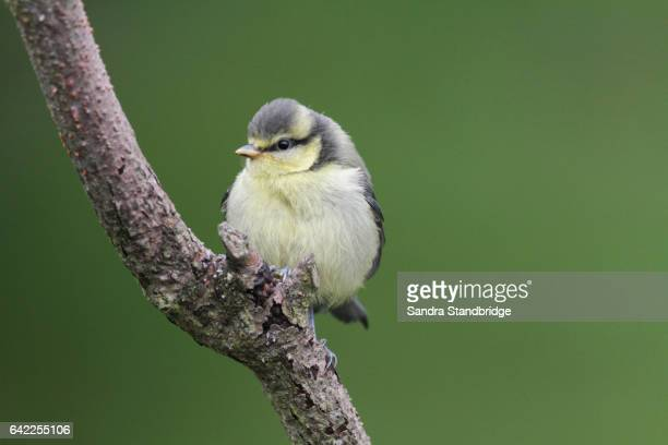 A beautiful young Blue Tit (Cyanistes caeruleus)  perched on a branch.