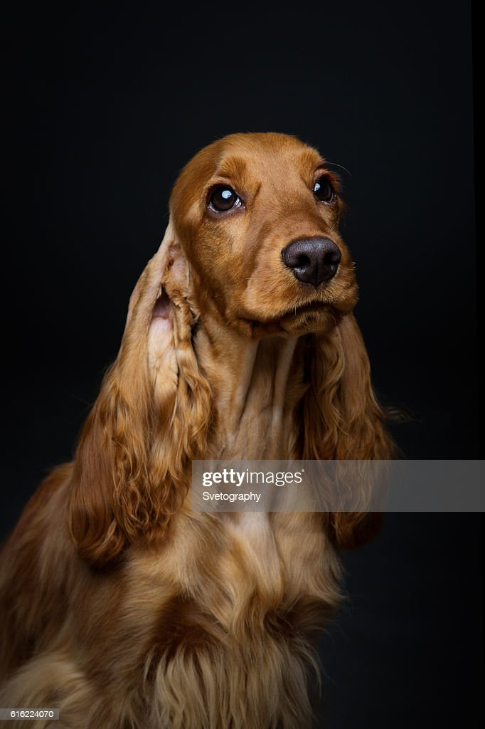 Beautiful young cocker spaniel : Stock Photo