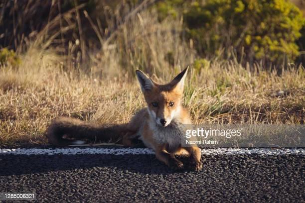 beautiful young fox, resting roadside looking at the camera - fuchspfote stock-fotos und bilder