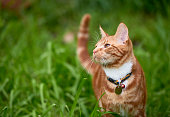 Beautiful young ginger red tabby cat looking at peace in a patch long green grass.