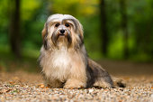 Beautiful young havanese dog sitting on a gravel forest road
