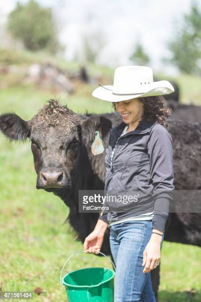 beautiful young mixed race woman feeds the cattle on a warm summer day - female animal stock pictures, royalty-free photos & images