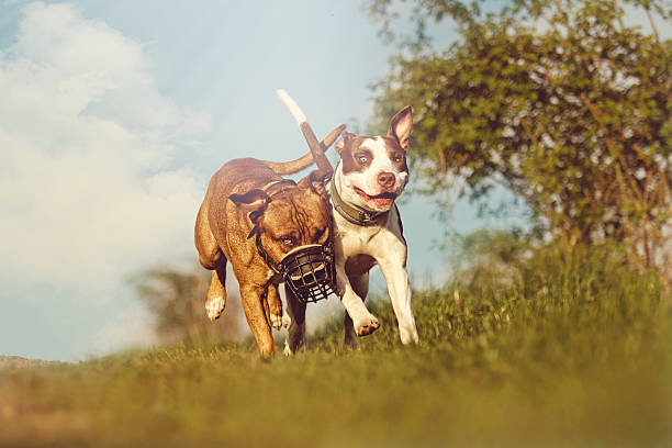 an introduction to the issue of pitbulls Introduction as pet dog ownership (simpson et al, 2012) this is true even when the actual breed of dog, if any  'pit bull' is not a recognized breed.