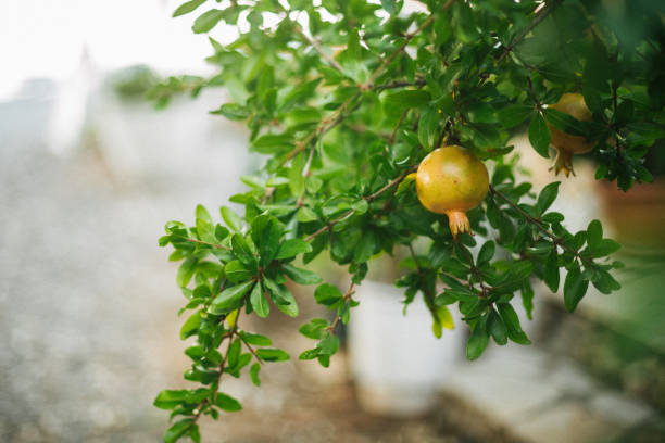 beautiful young pomegranate - pomegranate tree stock photos and pictures