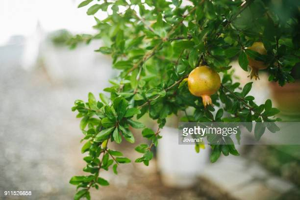 Beautiful young pomegranate