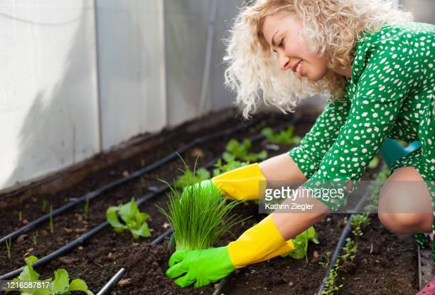 beautiful young woman planting herbs in greenhouse - チャイブ ストックフォトと画像