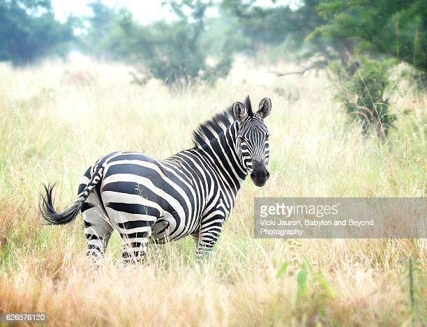 beautiful zebra looking back at camera - zebra stock pictures, royalty-free photos & images