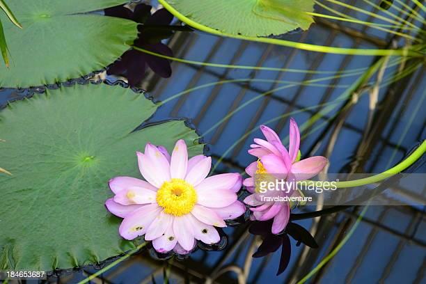 beautifull water lily