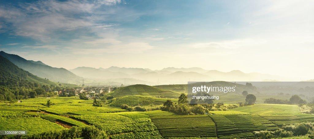 Beautiful,Longjing,tea garden,Hangzhou, Zhejiang, China : Foto de stock