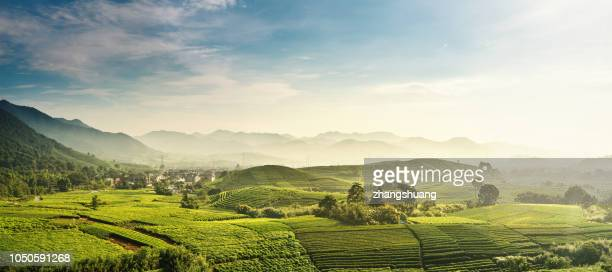 beautiful,longjing,tea garden,hangzhou, zhejiang, china - panoramic stock pictures, royalty-free photos & images