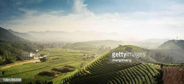 beautiful,longjing,tea garden,hangzhou, zhejiang, china - west lake hangzhou stock pictures, royalty-free photos & images
