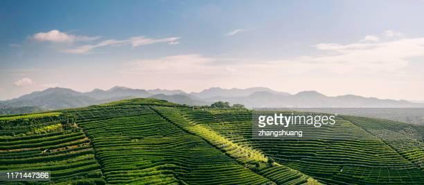 beautiful,longjing,tea garden,hangzhou, zhejiang, china - zhejiang provincie stockfoto's en -beelden