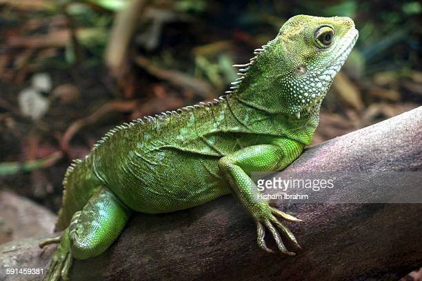 A beautifully coloured lizard