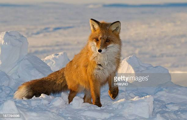 beauty fox. - red fox stock photos and pictures